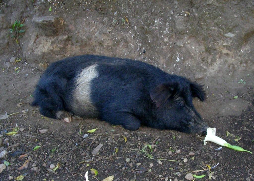 Schlafendes Schwein am Salkantay Trek
