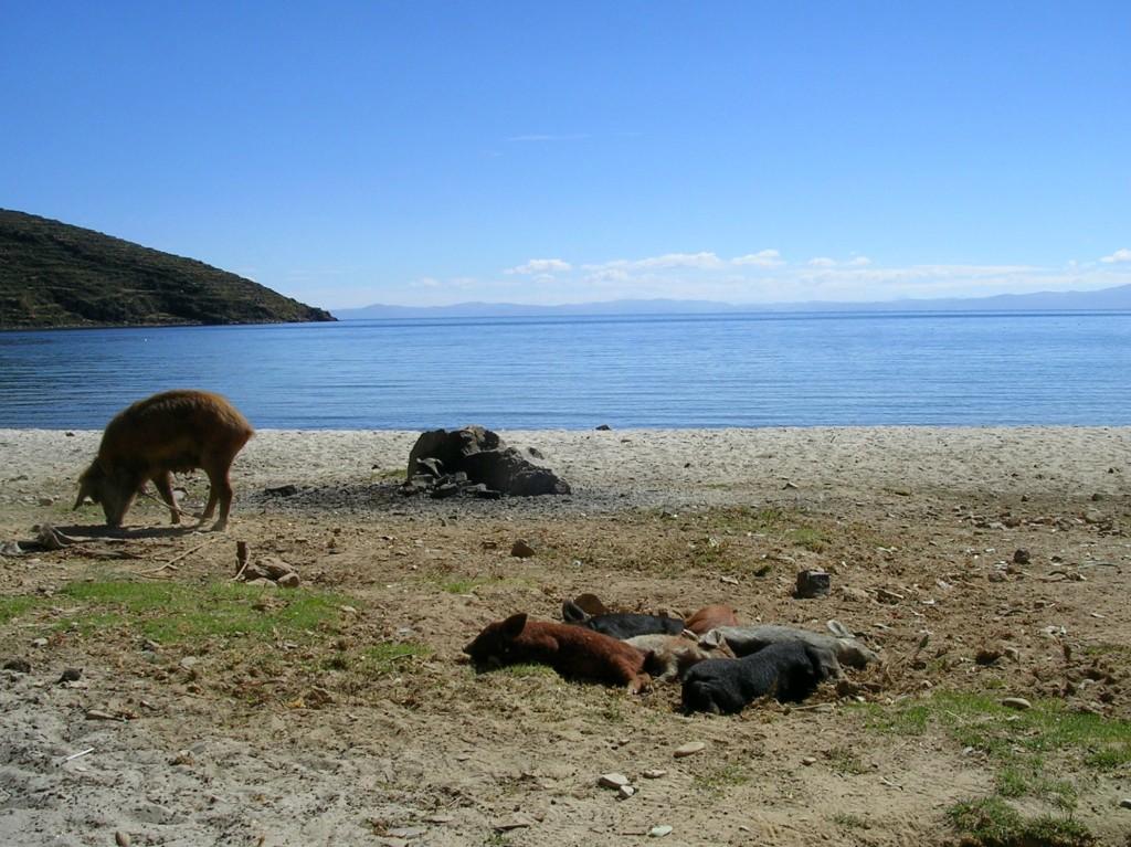 Schweine auf der Isla del Sol