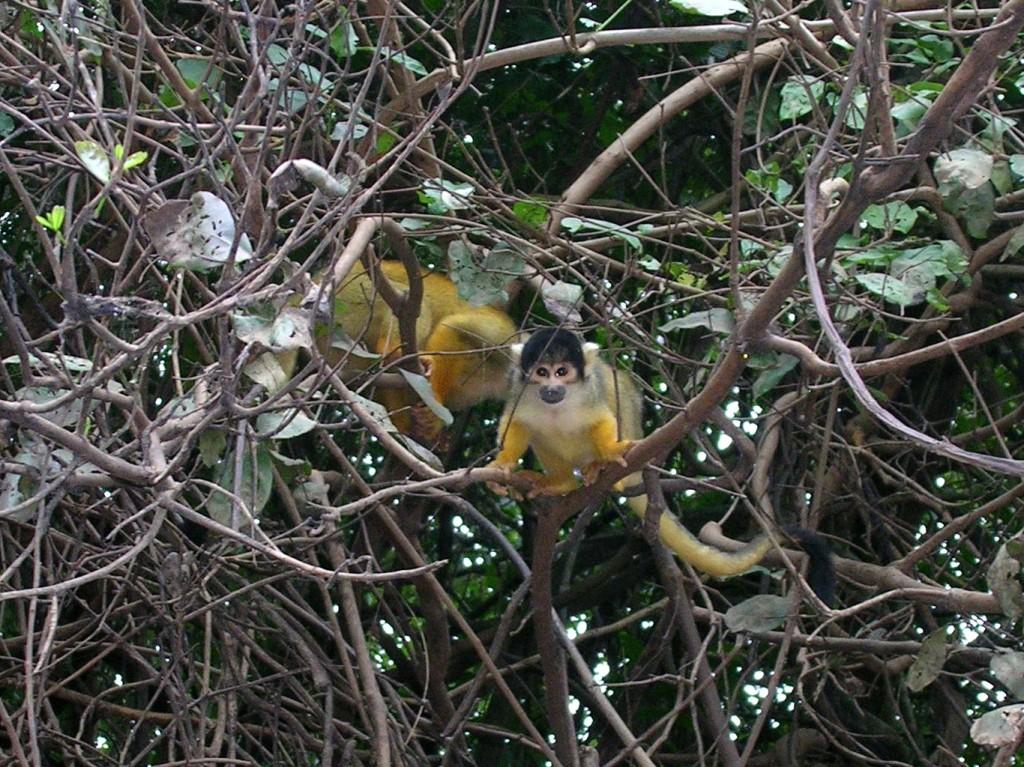 Äffchen in den Bäumen in der Pampa