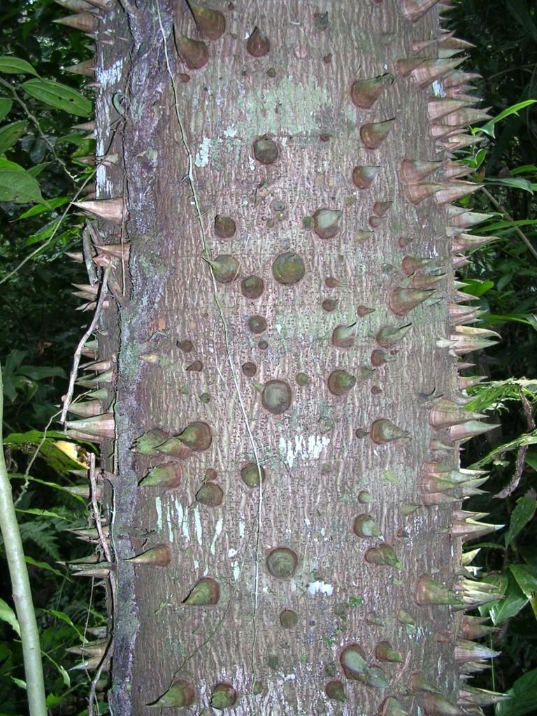 Baumstamm mit Stacheln im Dschungel des Madidi Nationalparks bei Rurrenabaque