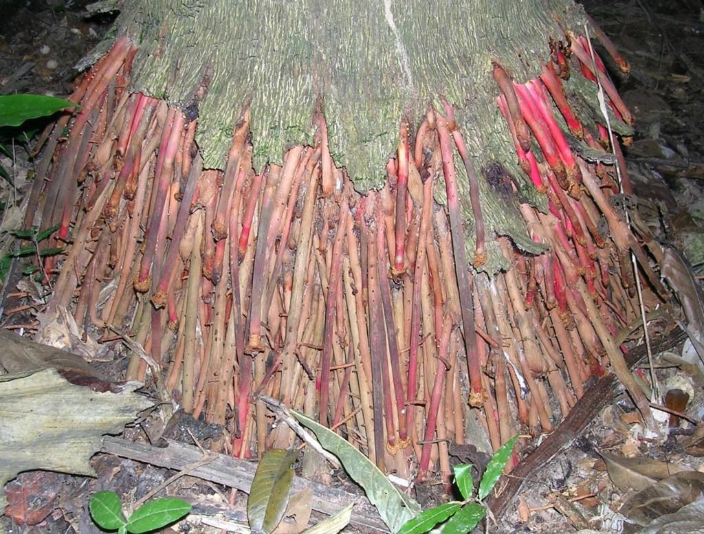 Baumwurzeln im Dschungel des Madidi Nationalparks