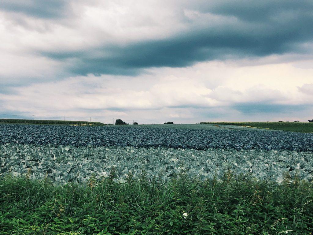 Wiese und zwei Krautfelder in unterschiedlichen Farben