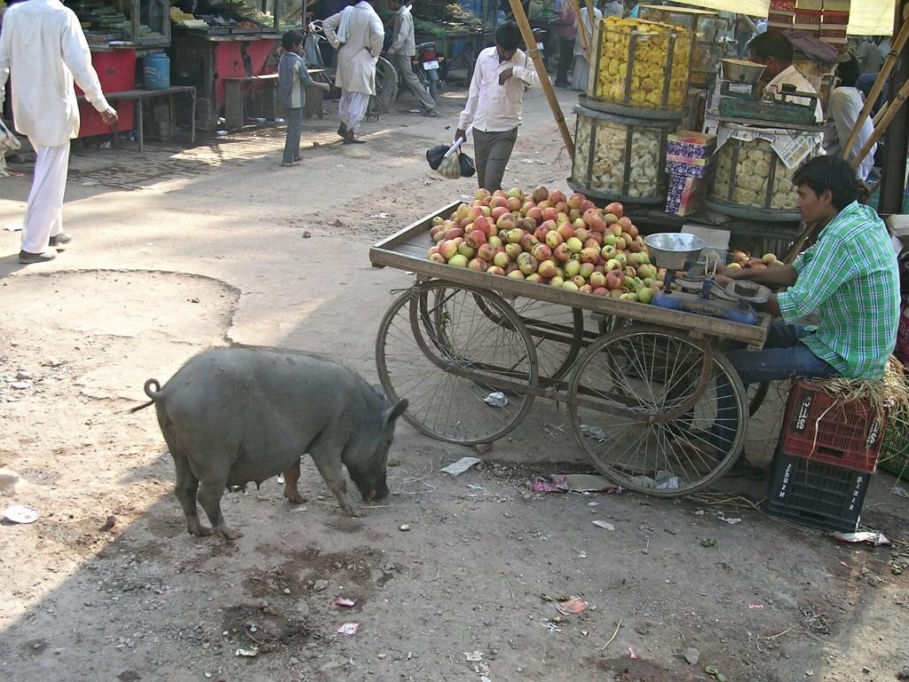 Freilaufendes Schwein am Markt in Fatehpur Sikri