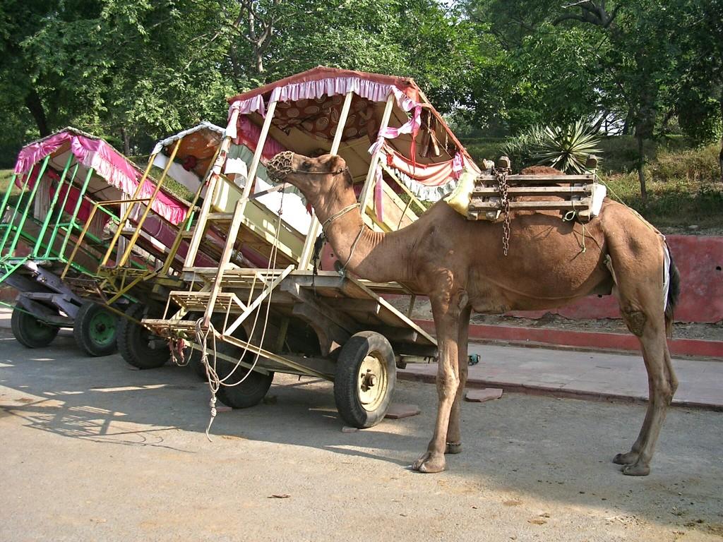 Kamel Kutsche in Agra