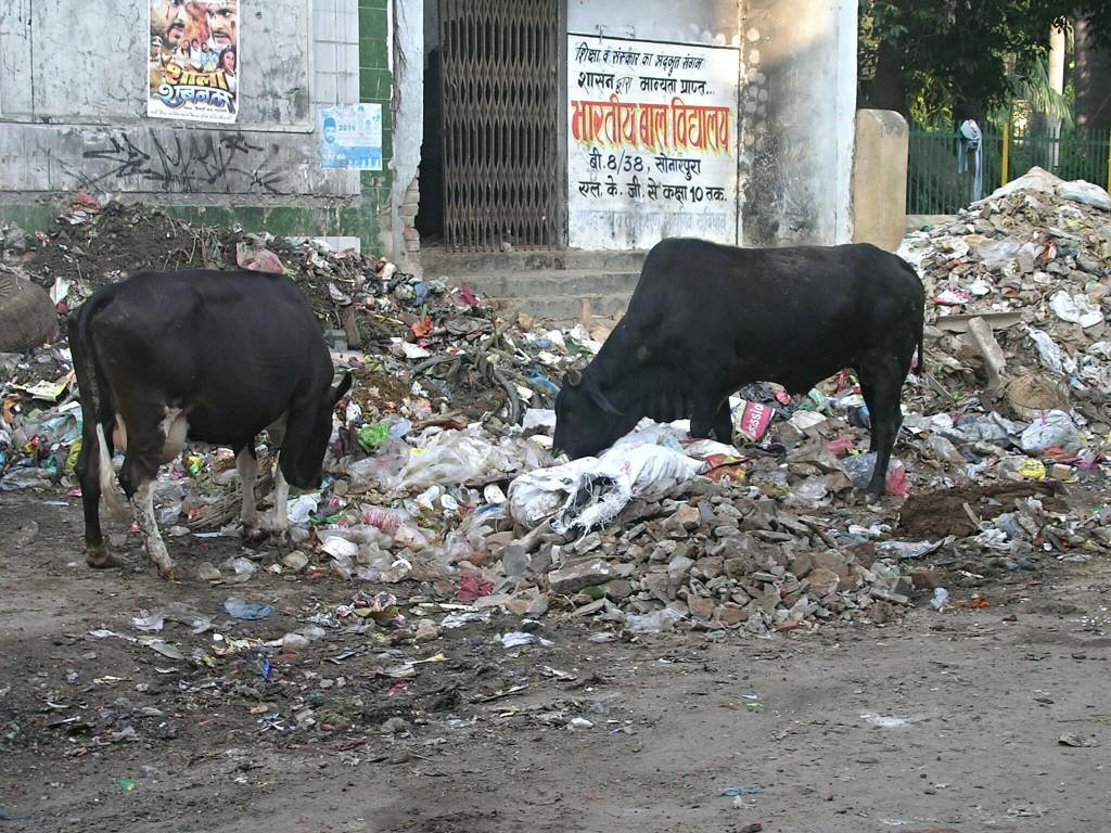 Im Müll wühlende Kühe in Varanasi