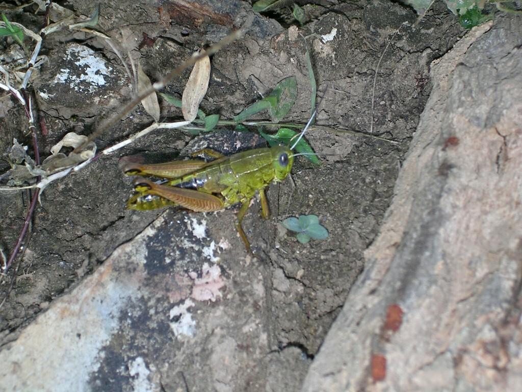 Heuschrecke in Bandipur