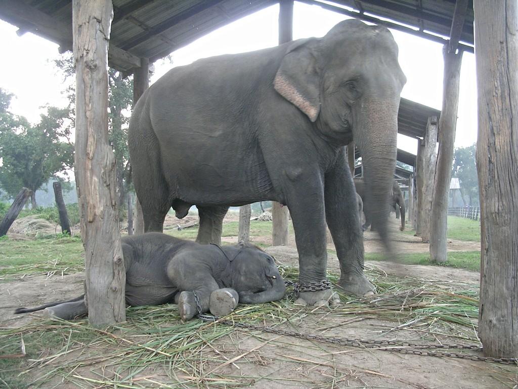 Elefanten Aufzuchtstation Chitwan