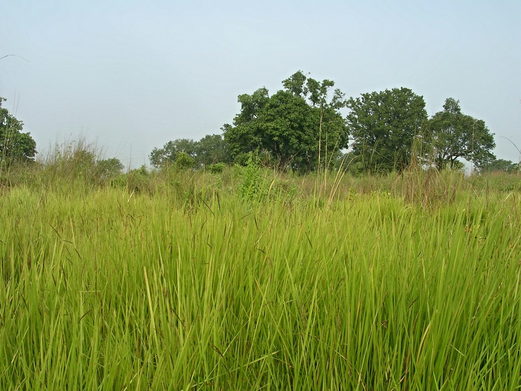 Hohes Gras im Chitwan National Park