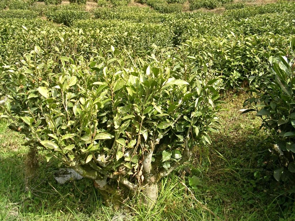 Teestrauch in Darjeeling