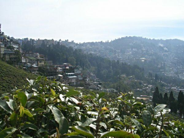 Teeplantagen in Darjeeling