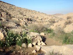 Narzissen am Weg beim Trekken durch die Wüste Negev
