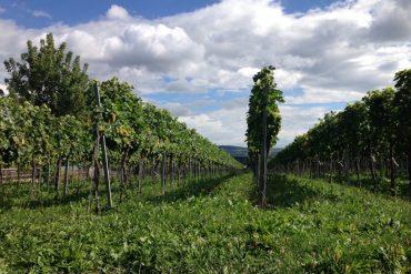 Weinreben in Krems