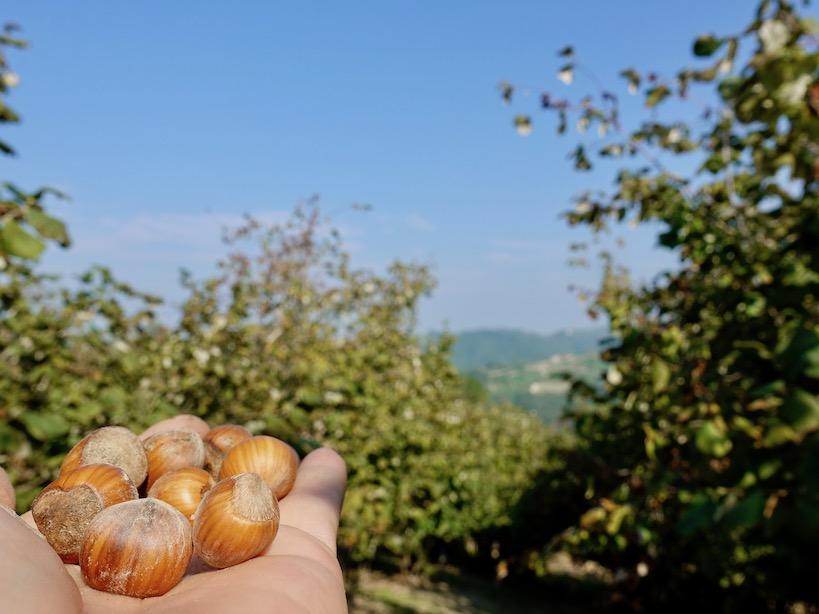 Piemont: Hasselnußplantage in Rodde