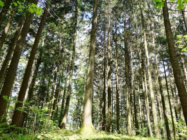 Waldness-Waldbaden-Almtal-Wald